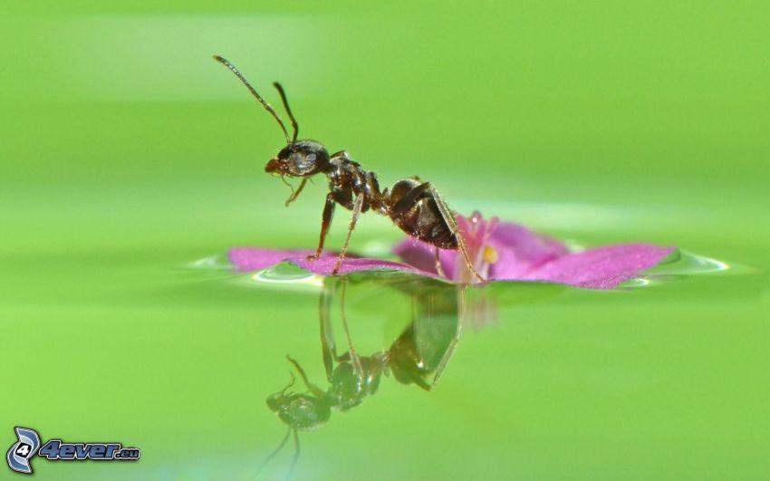 mrówka, fioletowy kwiat, powierzchnia wody, odbicie