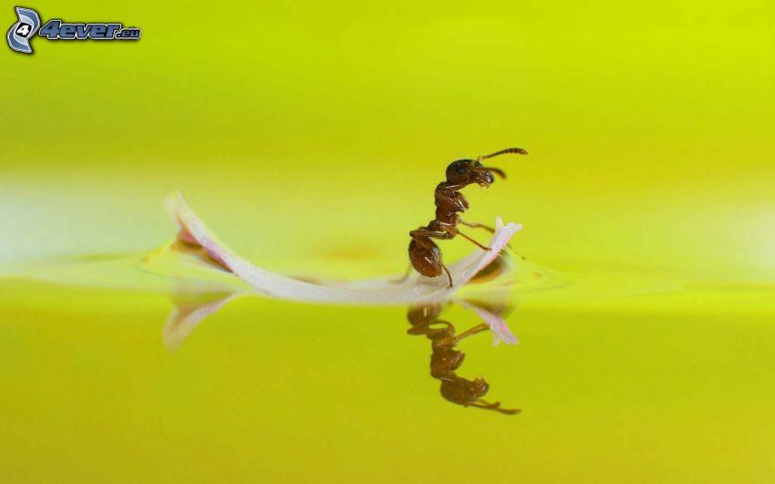 mrówka, liść, odbicie, powierzchnia wody