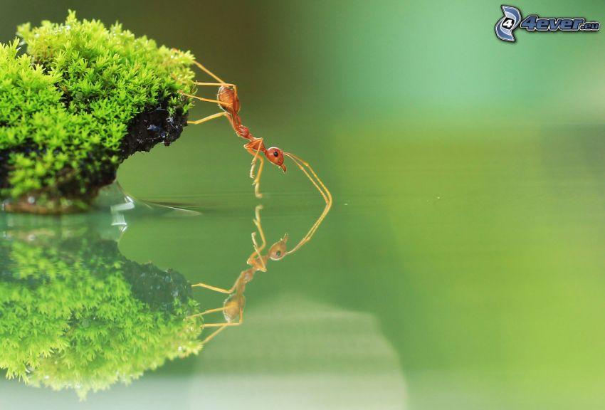 mrówka, mech, powierzchnia wody, odbicie