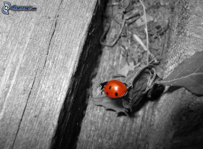biedronka, drewno, liście, czarno-białe