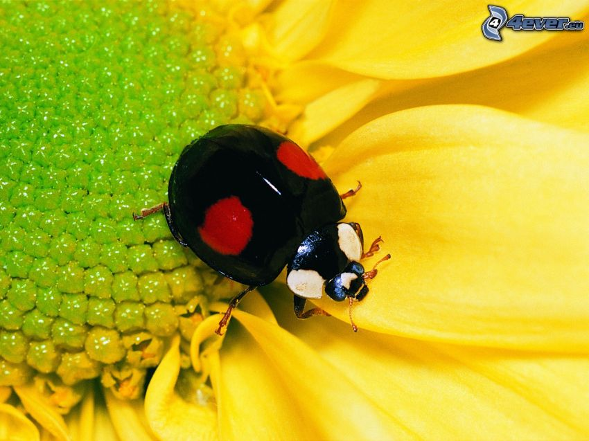 biedronka, żółty kwiat, makro