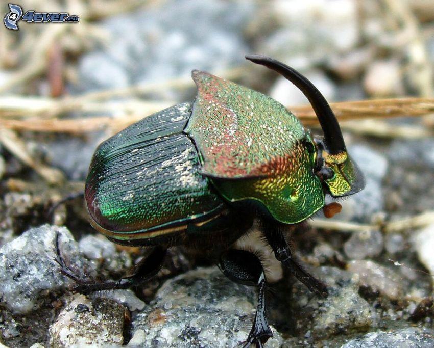 chrząszcz, makro