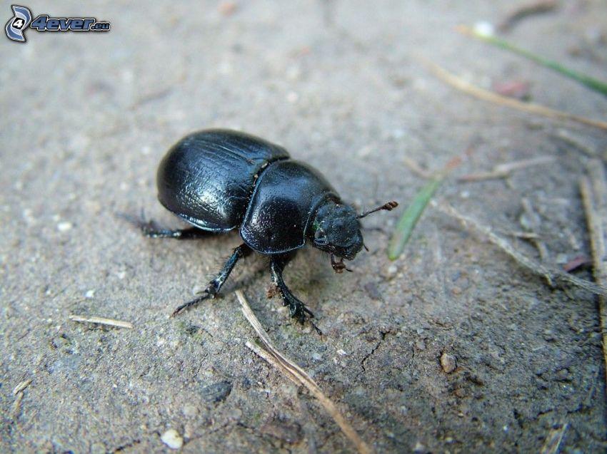 chrząszcz, ziemia