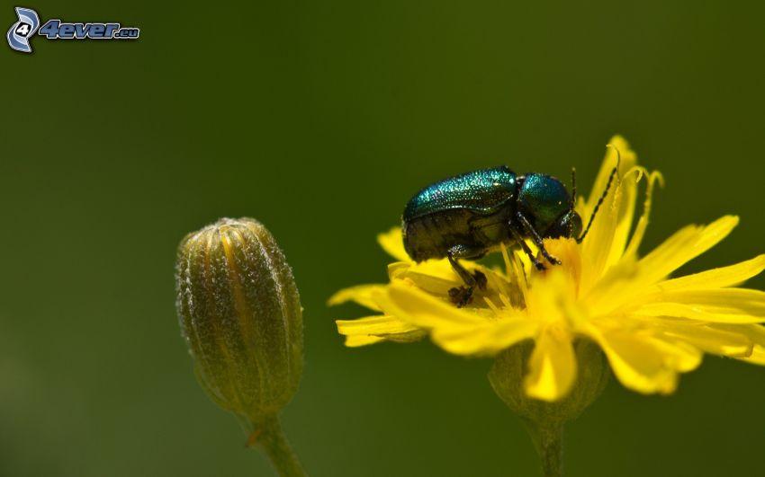 chrząszcz, żółty kwiat