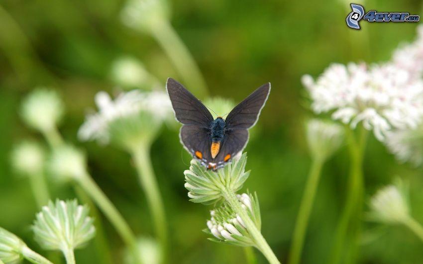 czarny motyl, biały kwiat