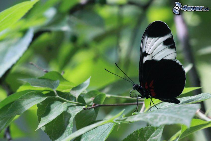 czarny motyl, konar, makro