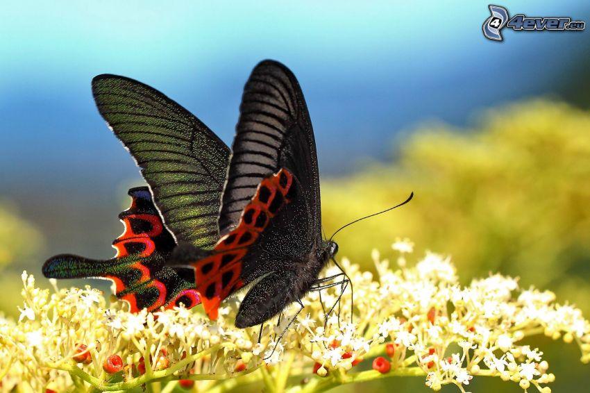 czarny motyl, kwiat