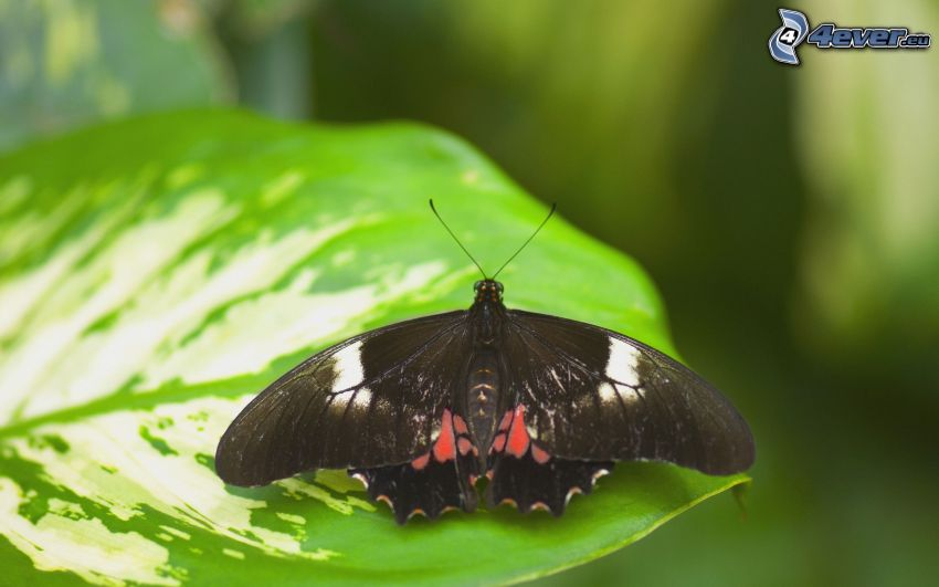 czarny motyl, liść