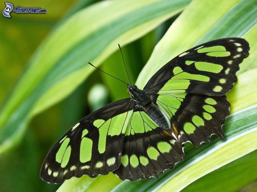 czarny motyl, liście