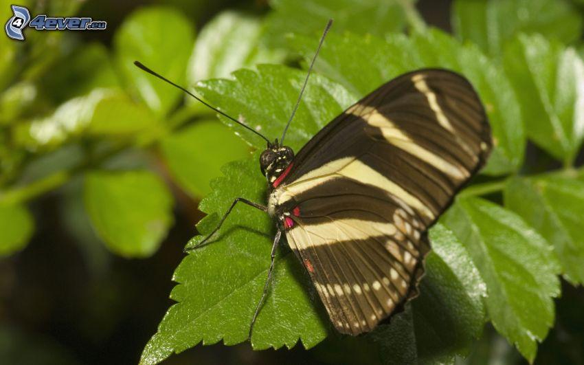 czarny motyl, roślina