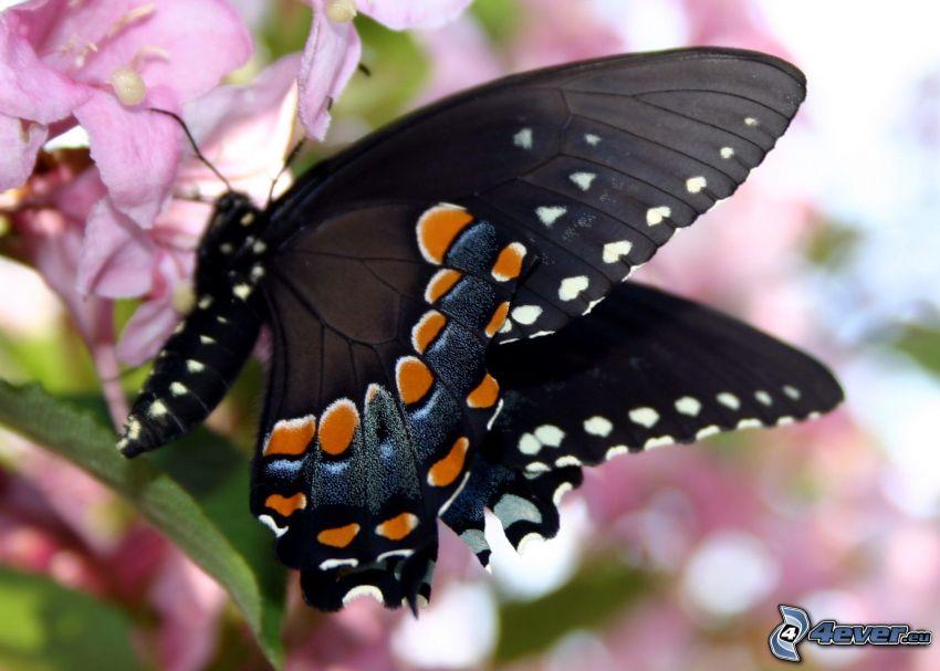czarny motyl, różowy kwiat, makro