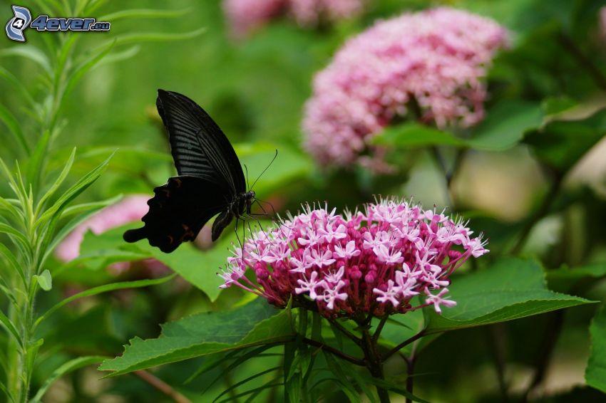 czarny motyl, różowy kwiat
