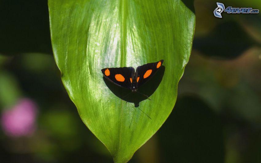 czarny motyl, zielony liść