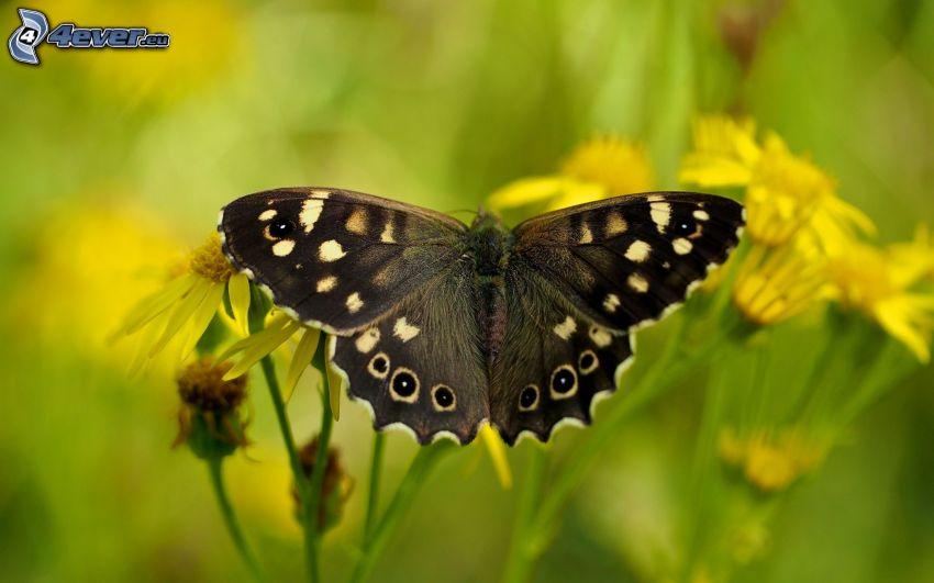 czarny motyl, żółte kwiaty, makro