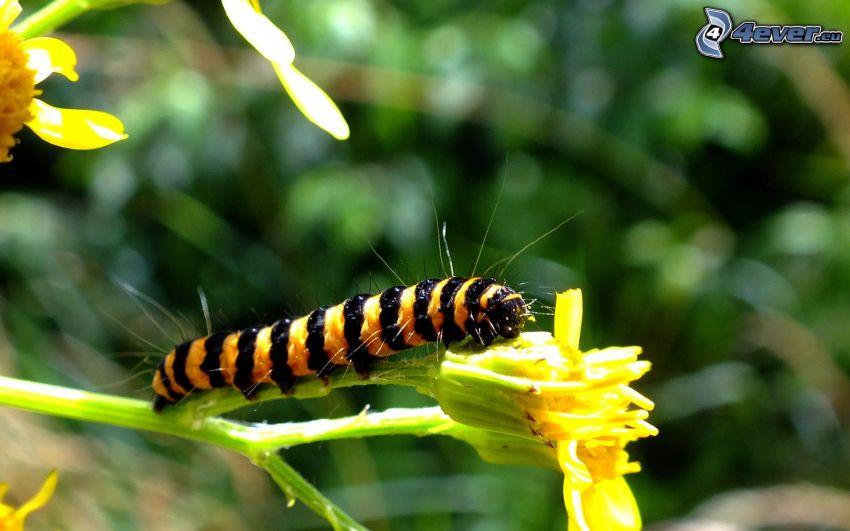 gąsienica, żółty kwiat