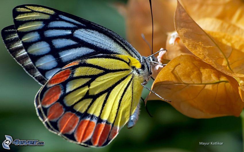 kolorowy motyl, żółte liście