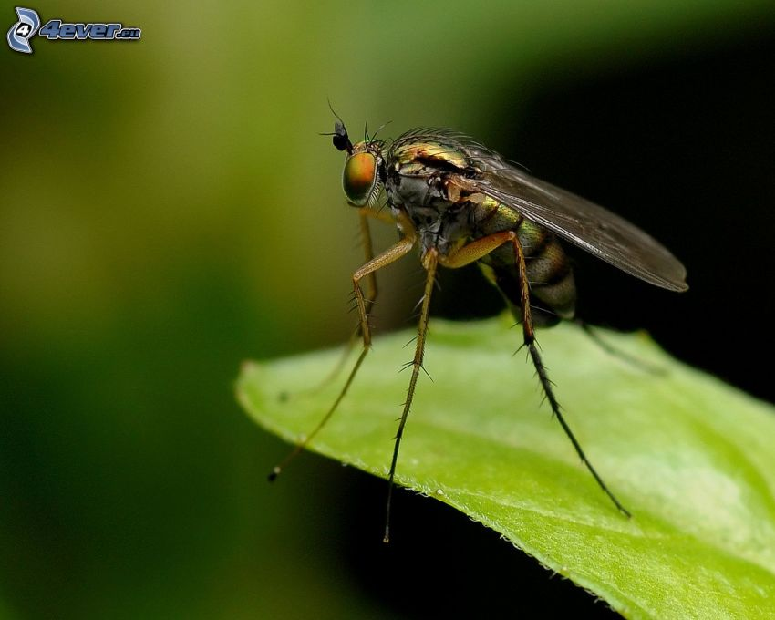 komar, liść