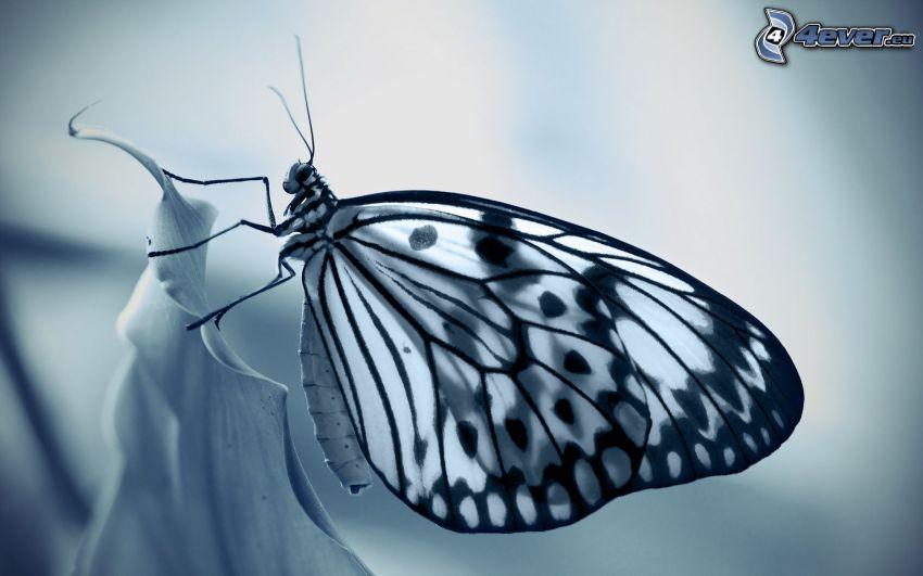 motyl, czarno-białe zdjęcie