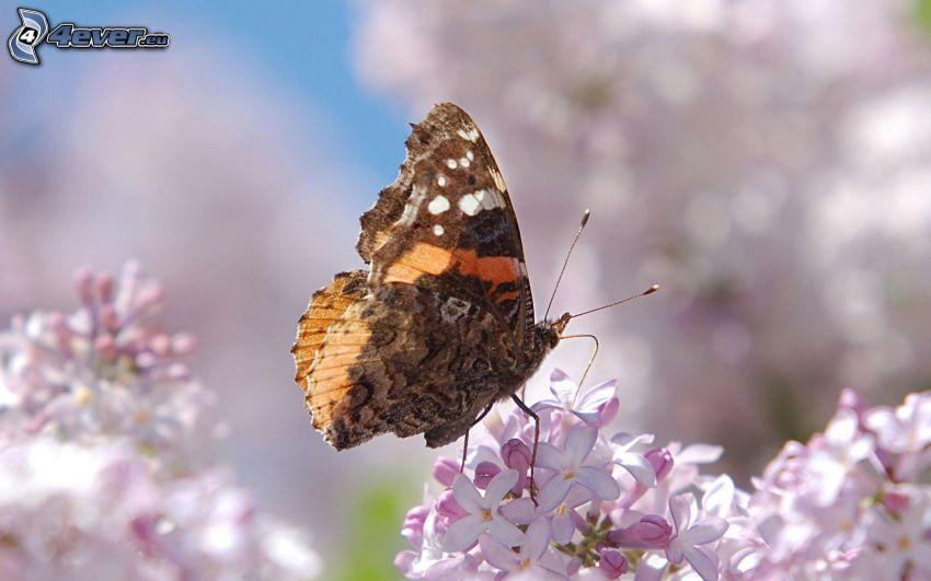 motyl, fioletowe kwiaty, makro