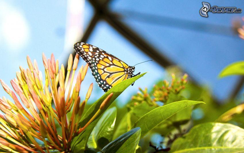 motyl, kwiat