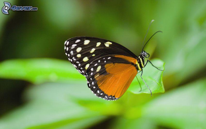motyl, liść, makro