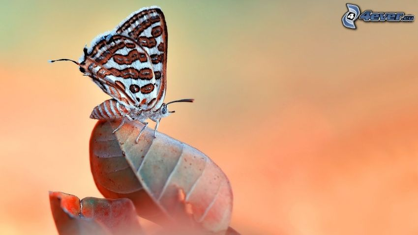 motyl, liść