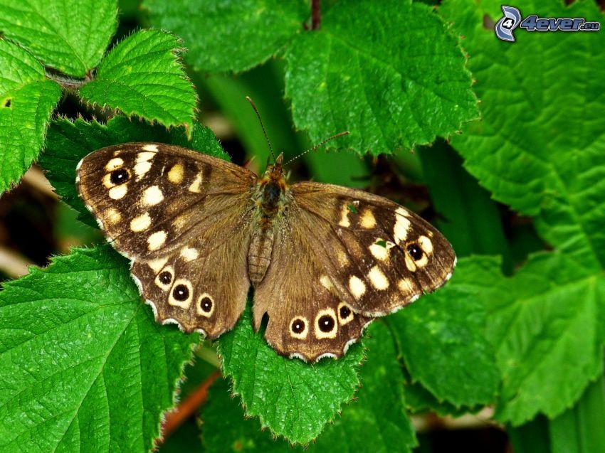 motyl, liście, makro