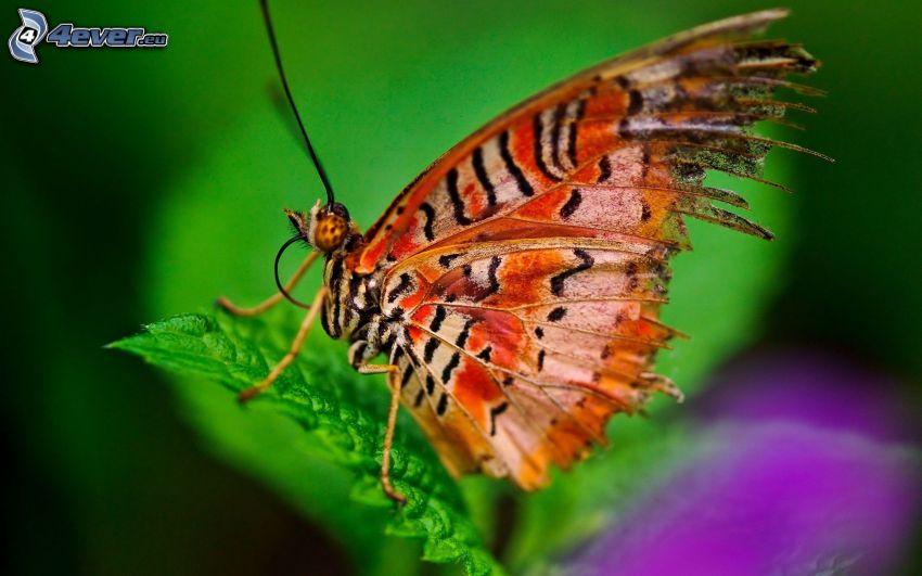 motyl, makro, liść