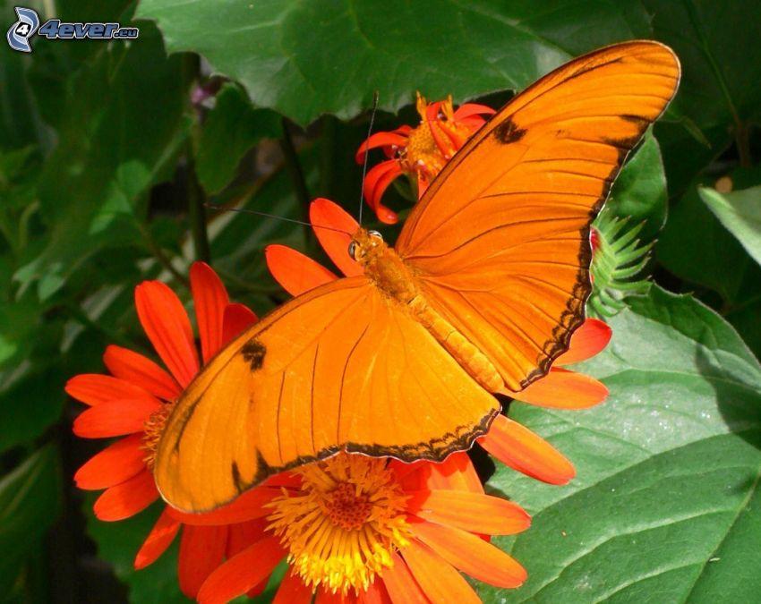 motyl, pomarańczowe kwiaty, makro