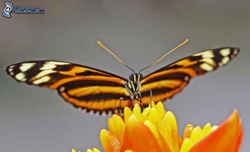 motyl, pomarańczowy kwiat, makro