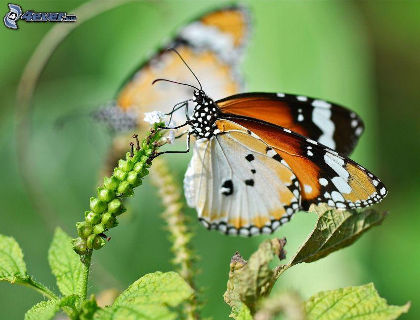 motyl, roślina, makro