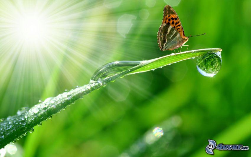 motyl, źdźbło, krople wody