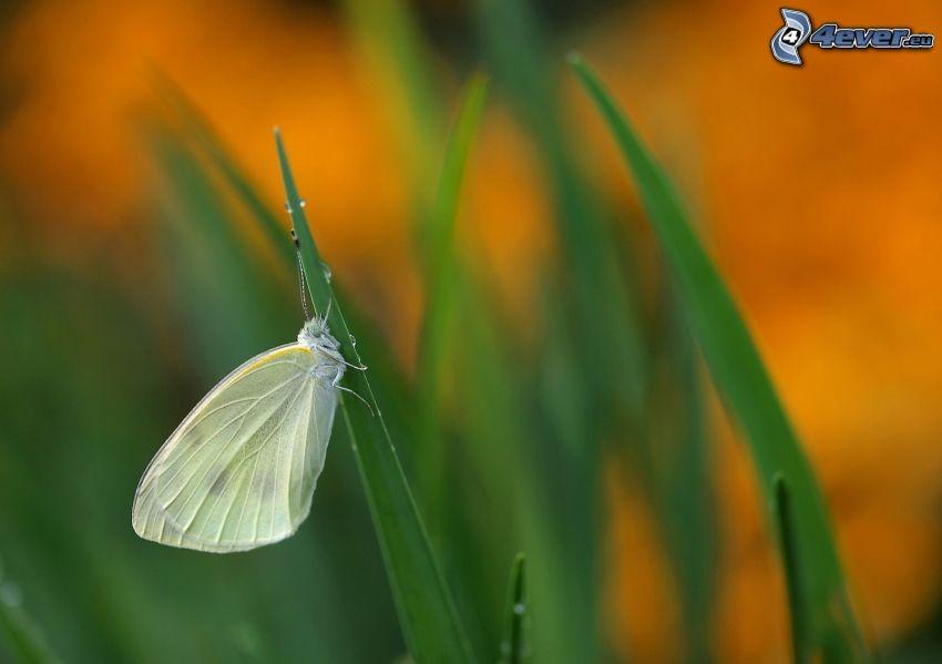 motyl, źdźbło trawy
