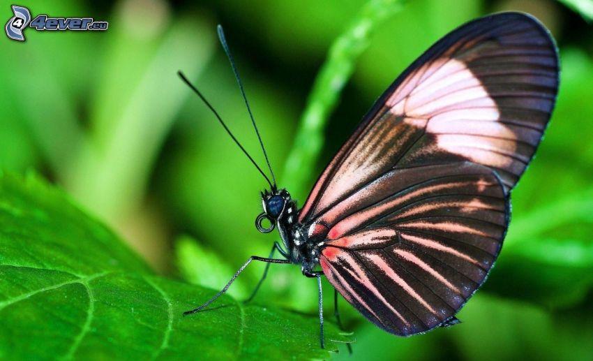 motyl, zielony liść, makro