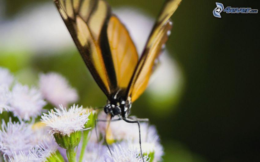Motyl na kwiatku, białe kwiaty, makro