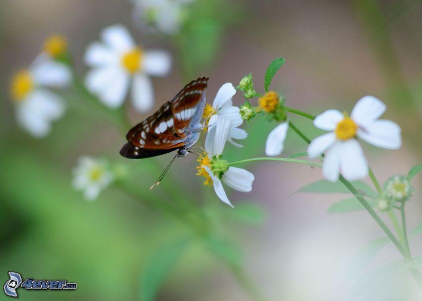 Motyl na kwiatku, białe kwiaty
