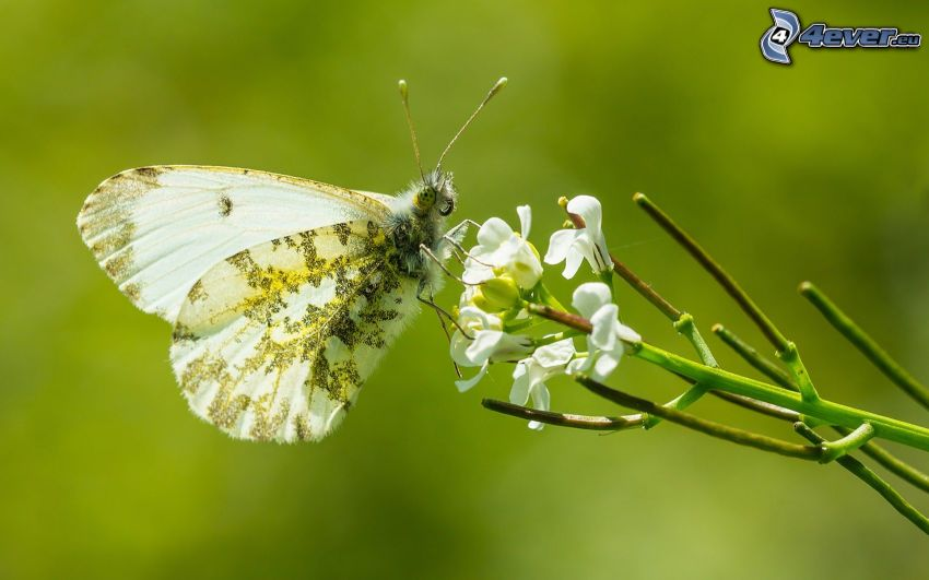 Motyl na kwiatku, biały kwiat, makro