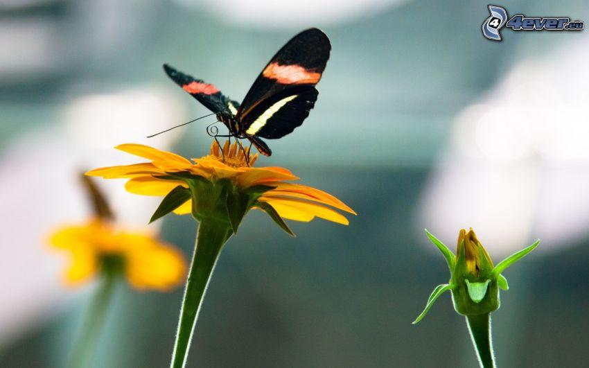 Motyl na kwiatku, czarny motyl, żółty kwiat