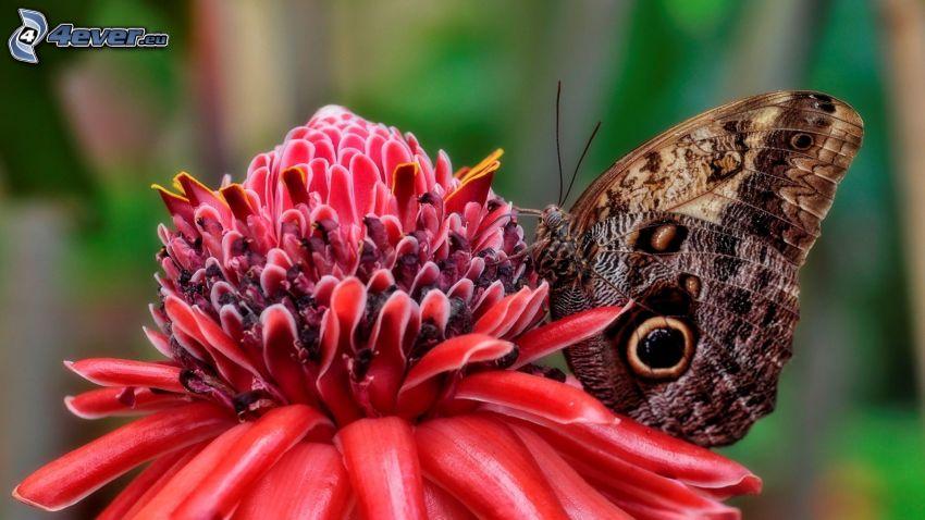 Motyl na kwiatku, czerwony kwiat, makro