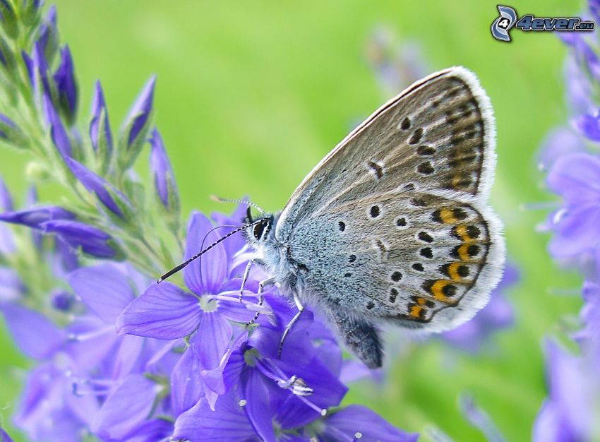 Motyl na kwiatku, fioletowe kwiaty, makro