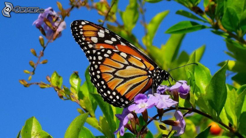 Motyl na kwiatku, fioletowe kwiaty