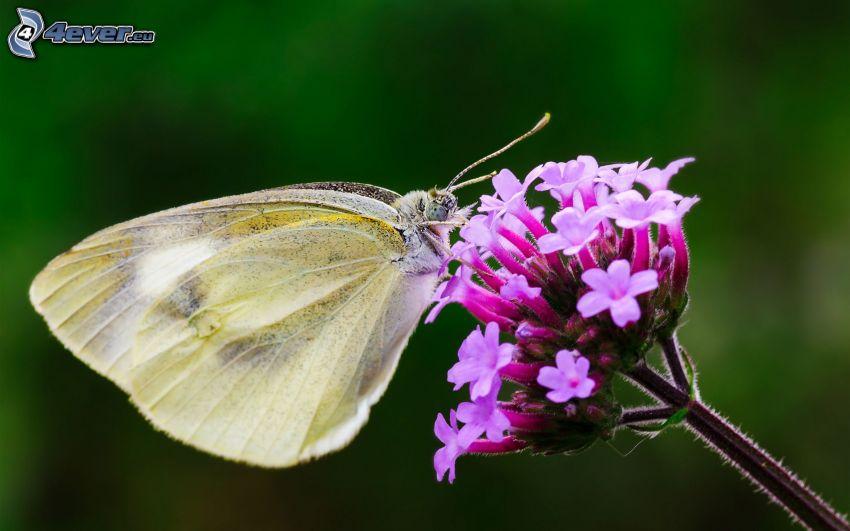 Motyl na kwiatku, fioletowy kwiat
