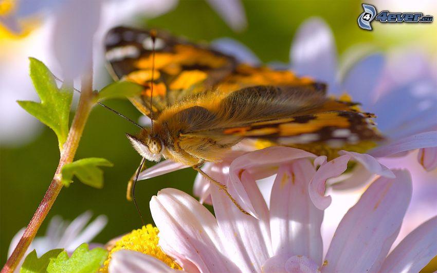 Motyl na kwiatku, makro, biały kwiat