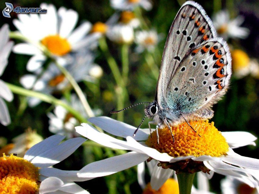 Motyl na kwiatku, makro, stokrotki