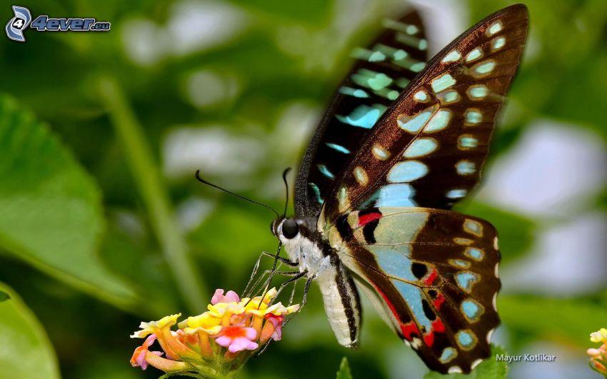 Motyl na kwiatku, makro, żółty kwiat