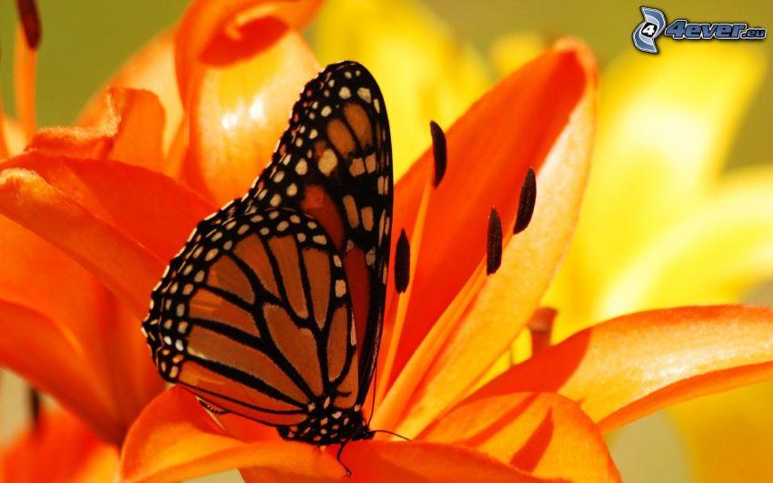 Motyl na kwiatku, pomarańczowy kwiat, lilia