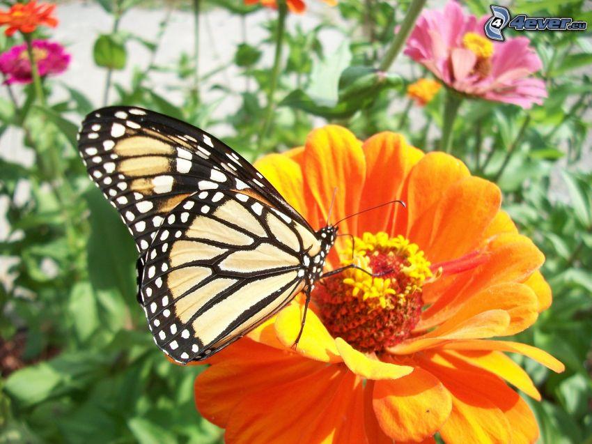 Motyl na kwiatku, pomarańczowy kwiat, makro