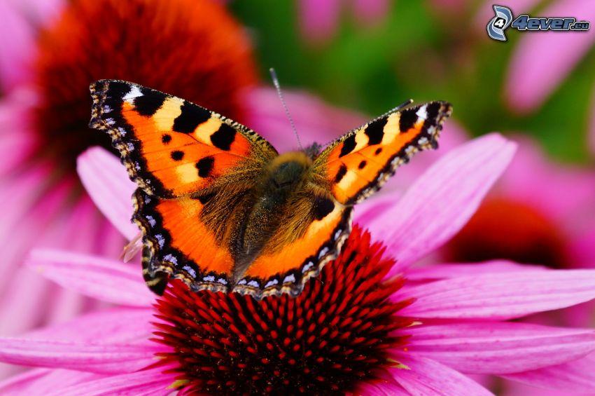 Motyl na kwiatku, różowy kwiat, makro