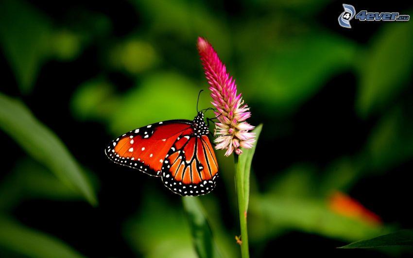 Motyl na kwiatku, różowy kwiat