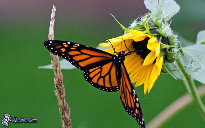 Motyl na kwiatku, słonecznik, makro